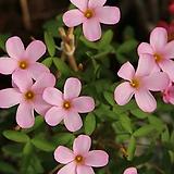 옥살리스(사랑초) Pink Boudoir(3구1세트)|
