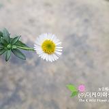 나도샤프란(10cm화분)[더케이야생화]