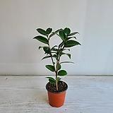 동백나무/공기정화식물/반려식물/온누리 꽃농원|
