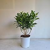 무늬워터자스민/공기정화식물/반려식물/온누리 꽃농원|