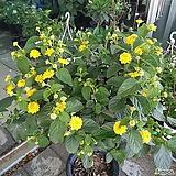 란타나 난타나(노랑)|