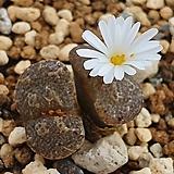 conophytum pellucidum LAV26802 okiep 오키프|