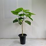 휘카스움베르타/공기정화식물/반려식물/온누리 꽃농원|