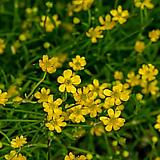옥살리스 (노랑 바람개비)