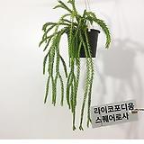 석송 라이코포디움 플래그마리아 키우기좋은식물 행잉플랜트 에어플랜트|