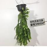 석송 라이코포디움 플래그마리아 공기청정식물 늘어지는식물|