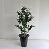 동백나무 블랙로즈/공기정화식물/반려식물/온누리 꽃농원|