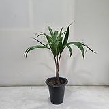 주병야자/공기정화식물/반려식물/온누리 꽃농원|