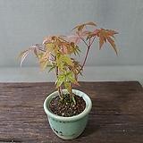 단풍나무 2|