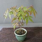 단풍나무 1|