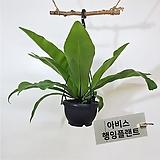 아비스 대형 행잉플랜트 에어플랜트 공중식물|