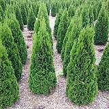 세종식물원 조경수 정원수 울타리 에메랄드그린 나무 화분 (80cm전후)|