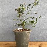 (꽃이 먼저 피는)사랑초 :: 시트리노