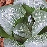 크리스탈무치카|Echeveria elegans potosina Crystal