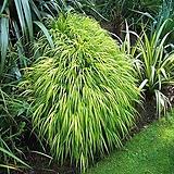 세종식물원 정원 조경 그라스 황금무늬 풍지초 아우레올라 (2포트)|