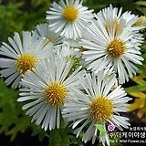 아스타핑크(10cm화분)[더케이야생화]