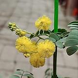 꽃대 가득 노랑 아카시아(카디오필라) 