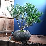 #(명품)병솔나무-자연석(대형)|