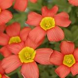 옥살리스(사랑초) obtusa Cranberry (3구)|
