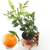 오렌지레몬나무(소) 