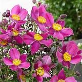 꽃대많은 추명국(중품)|