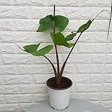 ♥가오리 알로카시아 ♥공기정화식물 