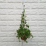 ♥디스키디아 공기정화식물 ♥걸이식물 