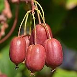 세종식물원 과실수 유실수 빨간 켄스레드 다래 나무 묘목 화분 (망화분묘)|