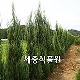 세종식물원 정원 조경 울타리 블루엔젤 주니프러스 나무 묘목 (H2.5m)|