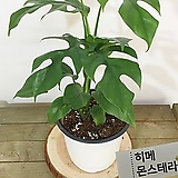 히메 몬스테라 라피도포라 테트라스퍼마 공기정화식물 인테리어식물|