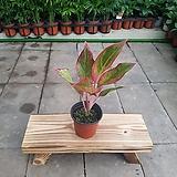 아글라오네마 오로라(소품) Sedum rubrotinctum cv.Aurora