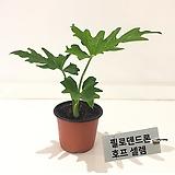 필로덴드론 호프 셀렘 공기정화식물|