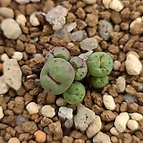 conophytum pageae breve(파가에 브레베)|
