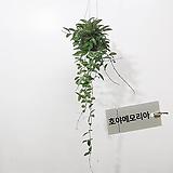 호야 메모리아 그라실리스 70-80cm 행잉플랜트 에어플랜트 공기정화식물|Echeveria Memory