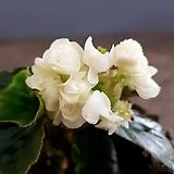 팝콘베고니아-흰색 