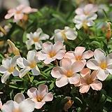 옥살리스(사랑초)