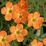 (특대구)옥살리스(사랑초)venus(구당)|