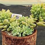 수빙 572 Sedeveria cv. Supar brow