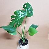 [SW]몬스테라(M) 2020 새상품/공기정화식물|