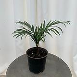 립스틱 야자나무|