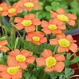 (특대구)옥살리스(사랑초) obtusa Coppery Orange  (3구)|