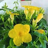 노랑 만대빌라꽃 월동 동일배송|