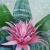 아나나스(에크메아)꽃이오래 동일배송|