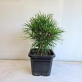 금송나무/공기정화식물/반려식물/온누리 꽃농원|