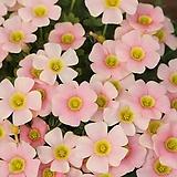 옥살리스(사랑초) obtusa