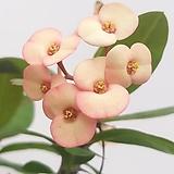 꽃기린(신품종)