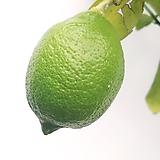 오리지날 노란레몬나무(왕대품) 레몬트리 딱하나|