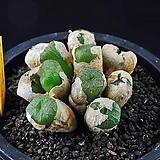 4600-Conophytum ectipum var. tischeri   엑티펌 티세리 황화  10두이상|