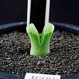4609-C.devium ssp.stiriiferum  데이빔 스트리페럼 |