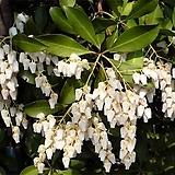 실내 식물 정원 향기좋은 흰색 꽃 피어리스 마취목 묘목 포트|Echeveria Fiona